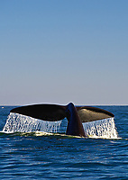 Southern Right Whales, Eubalaena australis  South Africa