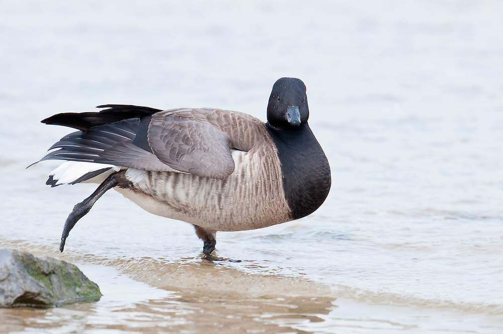 Atlantic Brant, Branta bernicla hrota, Barnegat Light, New jersey