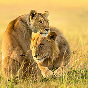 The lioness sat up proud and tall, showing off her scars and also like proclaiming her ownership of the male.