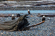 Three adult bald eagles (Haliaeetus leucocephalus) rest on logs that have washed up along the Nooksack River near Deming, Washington. Hundreds of bald eagles winter in the area to feast on spawned-out salmon.
