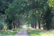Avenue of oak trees narrow country road, Methersgate Drive, Sutton, Suffolk, England, UK