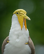 Masked Lapwings are native to Australia