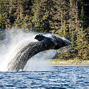 Humpback whale (Megaptera novaeangliae) breaching during a break from bubble net feeding. This whale was one of six that were engaged in social foraging.