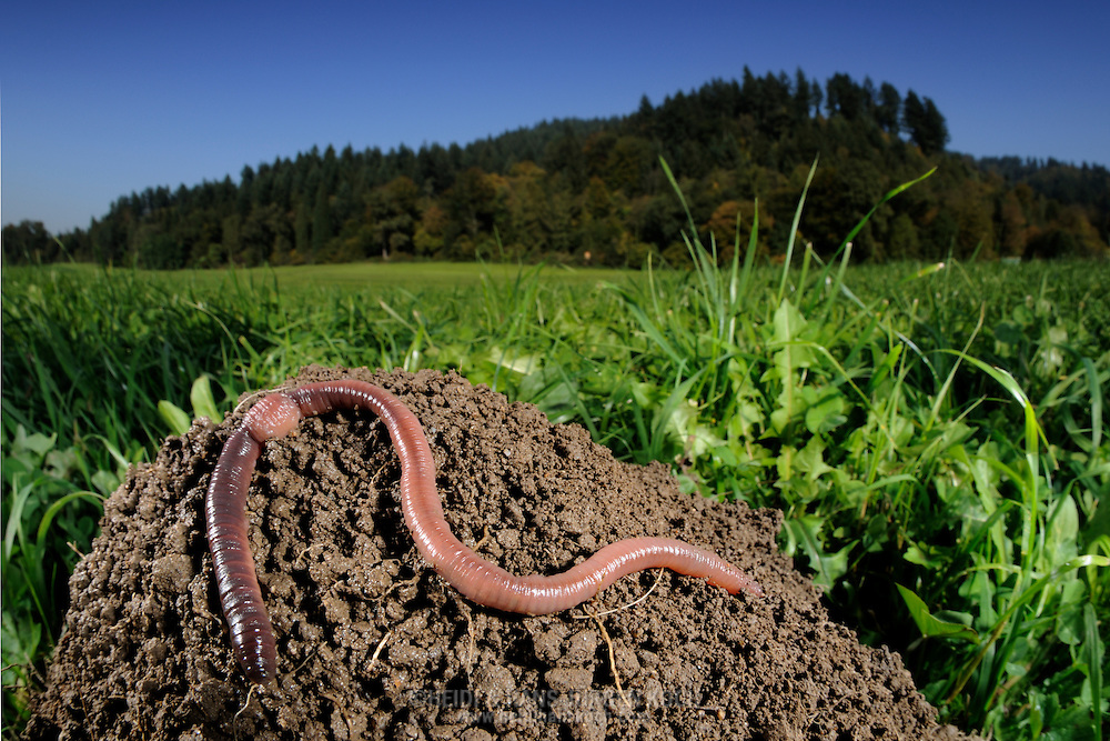 Common earthworm, nightcrawler, Lumbricus terrestris; earthworm on mounds in the meadows at the forest edge. ..Gemeiner Regenwurm, Tauwurm, Lumbricus terrestris; Regenwurm auf Erdhügel in Wiese an Waldrand