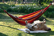 Golden Retriever dog Lemmy lying on his back under a hammock with his owner in the garden.