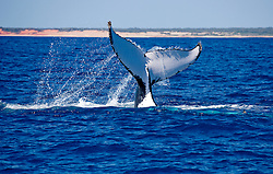 A humpback whale slaps its tail on the sea surface at Lombadina on the Kimberley's Dampier Peninsular.