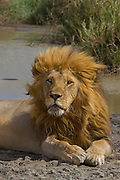 Male lion, kickass defender of a pride, Serengeti National Park, Tanzania. At a waterhole.