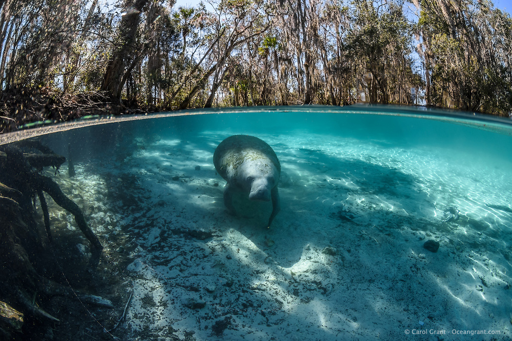 A Manatee seeks the warmest water it can during this cold winter day. Florida manatees come to Three Sisters Springs during the cooler months to rest and stay warm. This split-level image shows both land and underwater views. Taken in the Crystal River National Wildlife Refuge, Kings Bay, Crystal River, Citrus County, Florida USA. Florida manatee, Trichechus manatus latirostris, a subspecies of the West Indian manatee