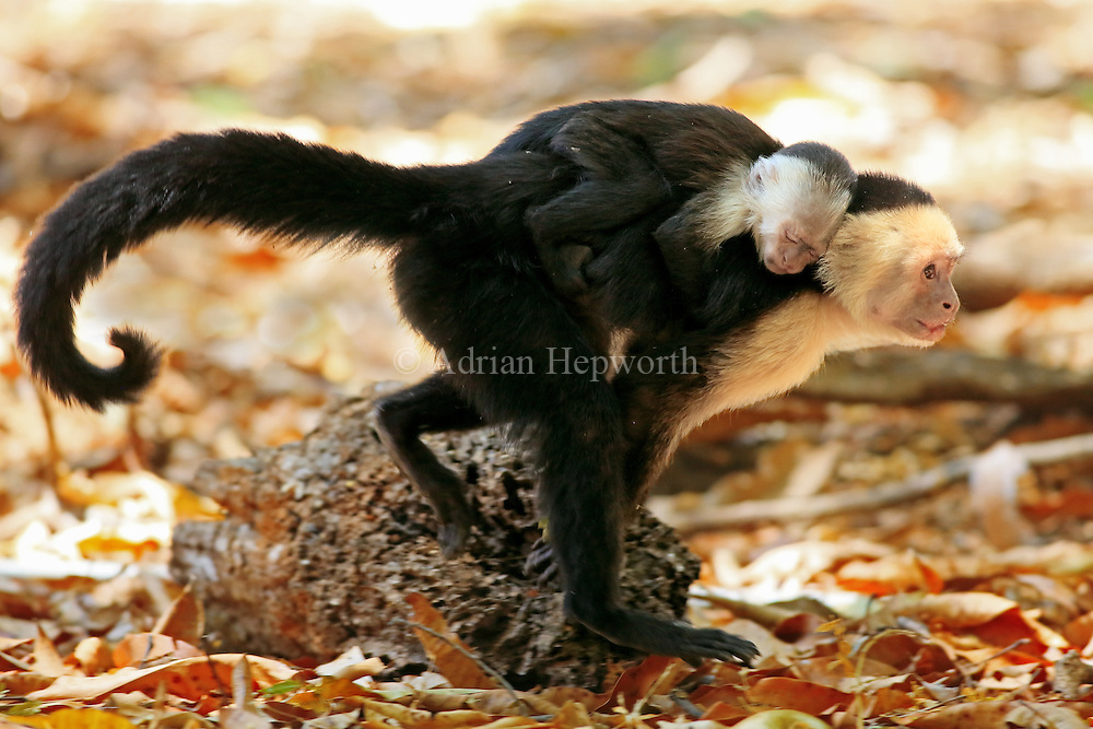 Female white-faced capuchin monkey (cebus capucinus) walking and carrying baby on back. Palo Verde National Park, Guanacaste, Costa Rica.
