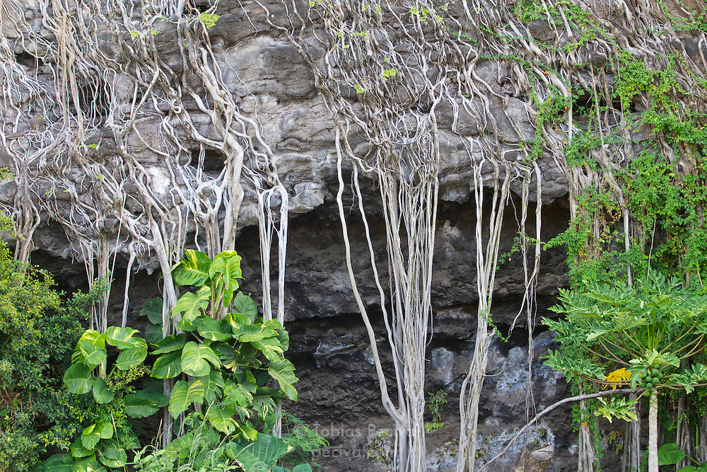 Aerial roots covering a cliff face at Haena Beach, on the island of Kauai, Hawaii.
