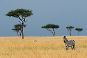 A plains zebra, Equus quagga, in the MAsai Mara plains dotted by acacia trees, Masai Mara National Reserve, Kenya.