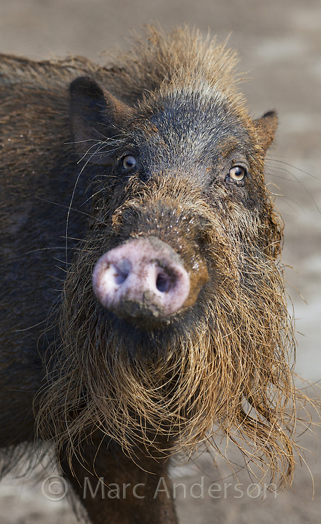 Bearded Pig, Sus barbatus, Bako National Park, Sarawak, Malaysia