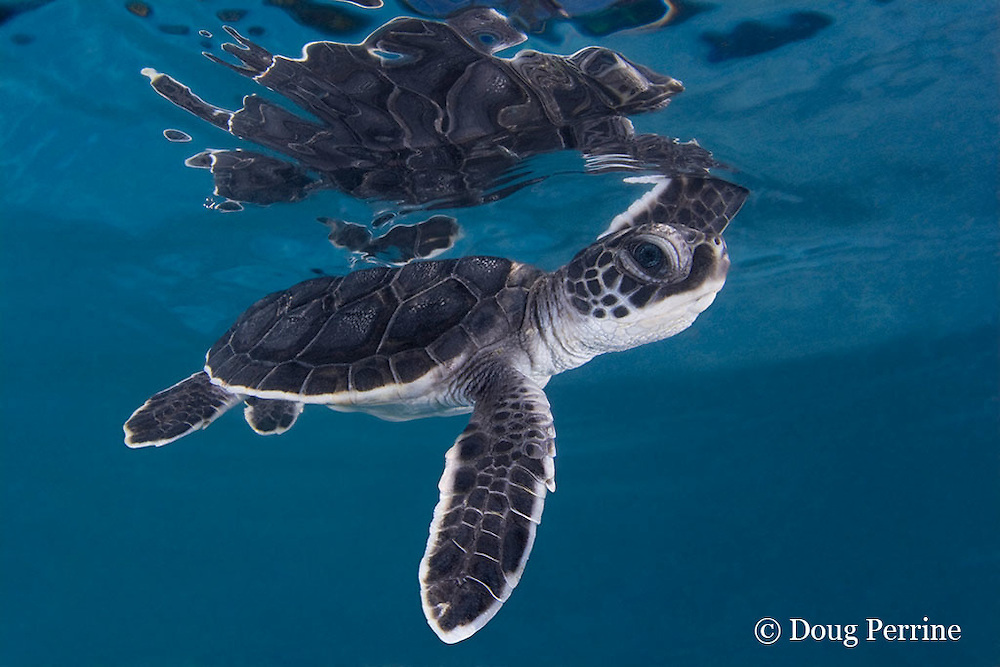 green sea turtle hatchling, Chelonia mydas (c), Endangered Species, Caribbean (dc)