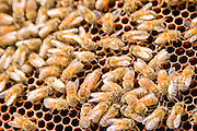 The queen bee of this hive has a red dot on her head. Notice her body is bigger than the rest.
