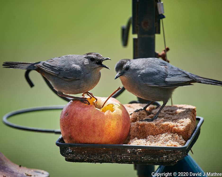 Pair of Gray Catbirds. Image taken with a Nikon D5 camera and 600 mm f/4 VR lens (ISO 640, 600 mm, f/5.6, 1/1250 sec)