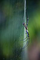 Nephila spider on web, Bardia National Park, Nepal