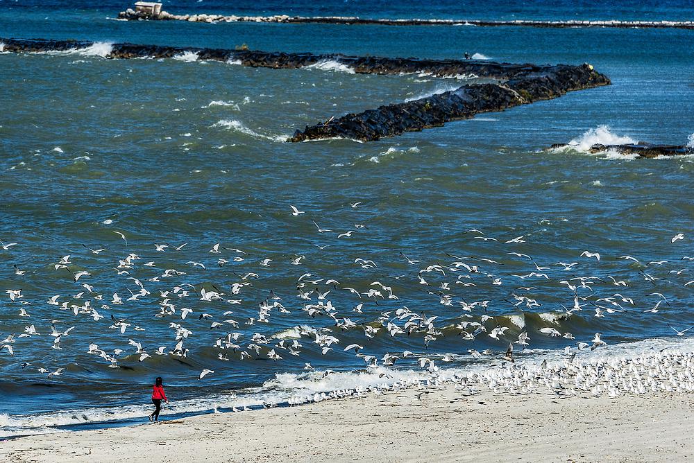 Girl scares seagulls to flight, Lake Erie, Astabula, Ohio, USA.