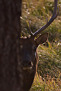 A young Bull Elk peaks around tree