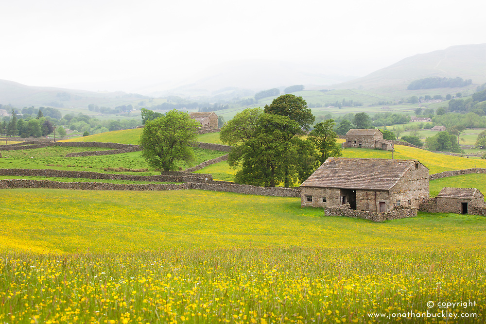 Fields of buttercups near Wensleydale, Yorkshire. Ranunculus acris