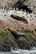 TWO SEA LION ARE SLEEPING SURROUNDED BY PENGUINS IN ONE ISLAND OF THE GROUP CALLED BALLESTAS ISLANDS IN THE SOUTH OF PERU.