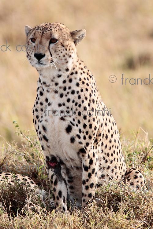 Cheetah in the Masai Mara reserve in Kenya Africa