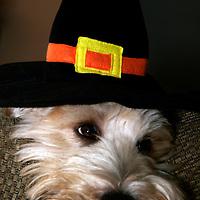 Soft Coated Wheaten Terrier, dog, wearing Pilgrim hat in honor of Thanksgiving (Reluctant Pilgrim)
