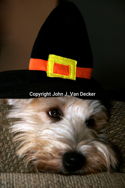 Soft Coated Wheaten Terrier, dog, wearing Pilgrim hat in honor of Thanksgiving (Reluctant Pilgrim)