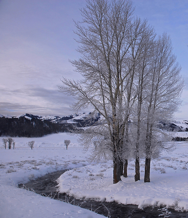 Hoarfrost covers these old cottonwoods on a frigid morning in the Lamar Valley. Hoarfrost, or rime ice, is a type of frozen dew which occurs when humidity levels are very high and temperatures are well below freezing.
