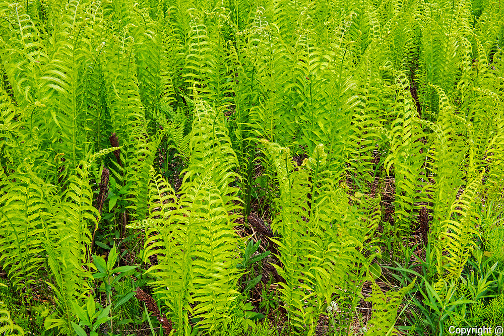 Cinnamon Fern (Osmundastrum cinnamomeum - formerly Osmunda cinnamomea) growing on Kendall Inlet Road<br />