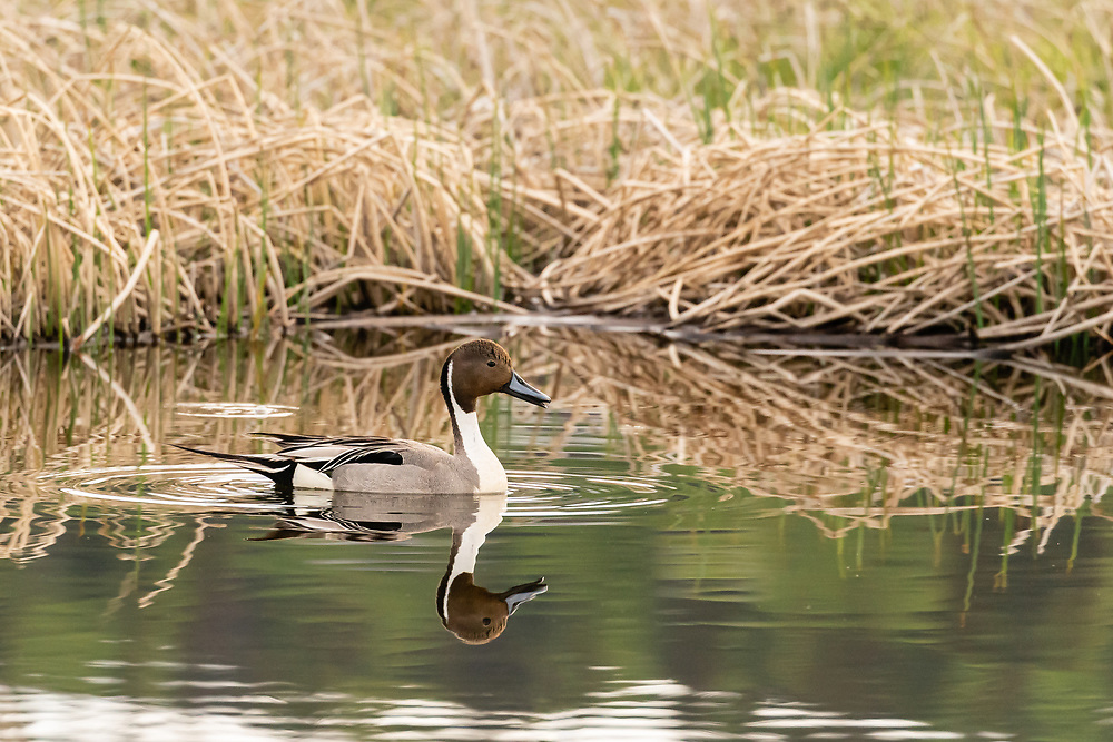 Male Northern Pintail (Anas acuta) swimming in Potter Marsh in Southcentral Alaska. Spring. Morning.