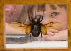 "Ginger Tacha looks over a giant beetle species inside Ringer Library on Tuesday as part of ""Bug Day"" at the library where various species of insects were on display."