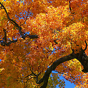 """Golden Branches Sway""<br />
