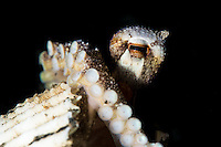 A coconut octopus (Amphioctopus marginatus) peers out of its shell home.