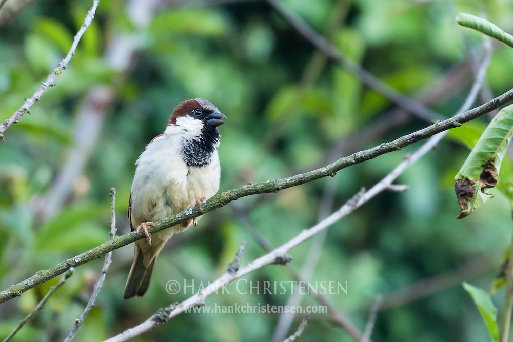 A male house sparrow perches on a narrow branch, Ooty, India.