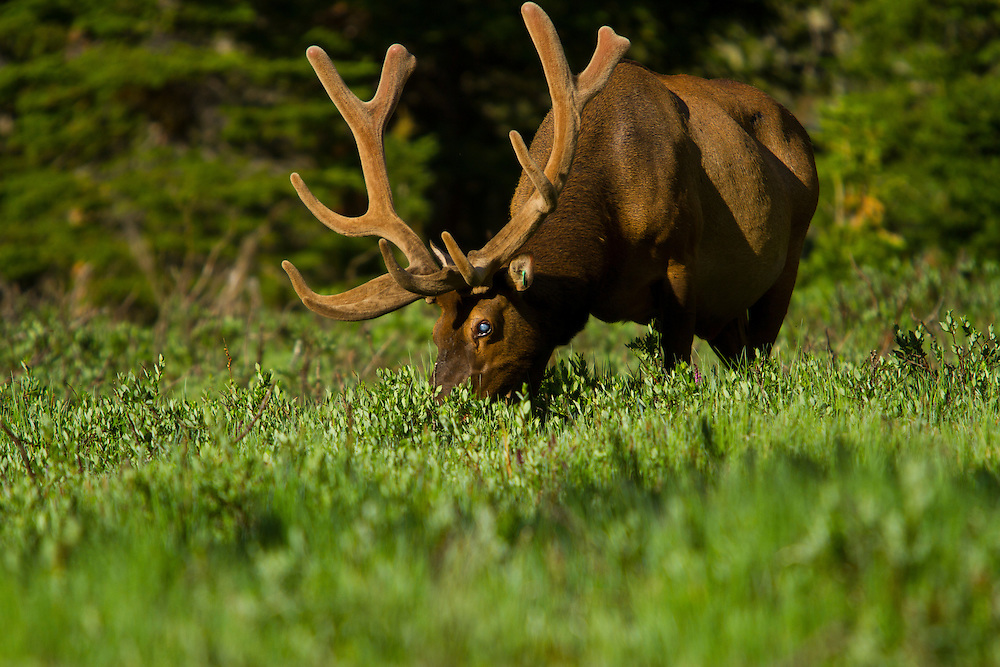 A bull elk grazes in a meadow along Trail Ridge Road in Rocky Mountain National Park, Colorado.