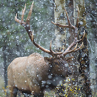 bull elk in snow storm during fall