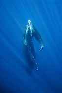 Friendly mother and calf Humpback whale (Megaptera novaeangliae) in the Hawaiian Islands Humpback Whale National Marine Sanctuary in Maui, Hawaii. NOTICE MUST ACCOMPANY PUBLICATION: Photo obtained under NMFS Permit #753.