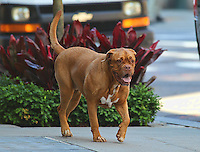 Bordeaux Mastiff