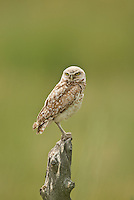 The Burrowing Owl a small ground dwelling owl always can be found on fence posts close to their burrows.