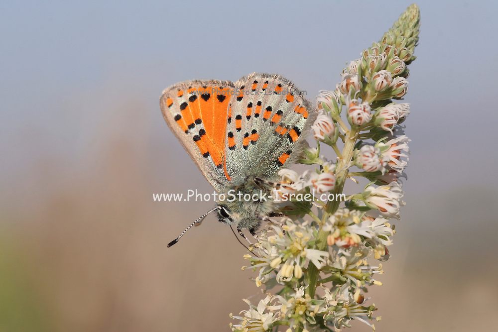 Tomares nesimachus butterfly