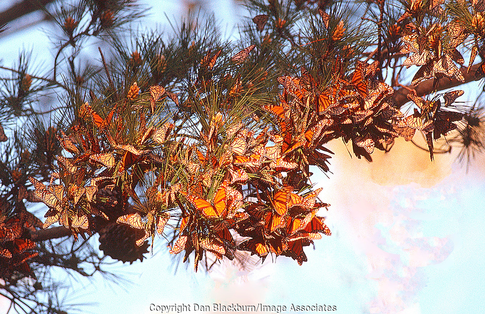 Migrating Monarch Butterflies cluster on a eucalyptus branch near the California coast.