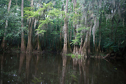 Congaree National Park, near Columbia, South Carolina on August 6, 2008.  Protected in 1976 by the US Congress as Congaree Swamp National Monument, the 22,000 acre park became Congaree National Park in 2003.  The park is home to primeval forest landscape, champion trees including record bald cypress, tupelo and loblolly pine trees.