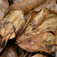 Hidden from predators and prey alike, a brown leaf mantis (Brancsikia aeroplana) is almost indistinguishable from the dead leaves of the rainforest floor. Once believed to be related to Southeast Asia's brown leaf mantids (Deroplatys) this Madagascar endemic is now thought to be closer to orchid mantids (Hymenopodidae); its cryptic appearance thus representing another case of convergence.