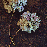 Two dried flowerheads of Hydrangea macrophylla with tones from pink mauve and blue to brown lying on rusty metal sheet