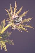 Eryngium sp.