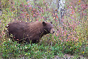 A cinnamon colored black bear eating berries in Grand Teton National Park