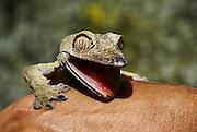 Madagascar, close-up of a Giant Leaf-tail Gecko (Uroplatus fimbriatus)
