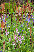 Colorful bluebells are surrounded by Northern Giant Horsetail (Equisetum telmateia braunii) in the Grays Harbor National Wildlife Refuge near Hoquiam, Washington.