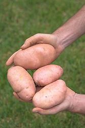 Mãos segurando batatas recém colhidas. FOTO: Jefferson Bernardes/ Agência Preview