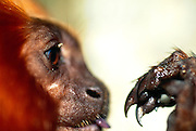 With eyes that are directed forward to allow binocular vision and with impressive claws on all four extremities the Golden Lion Tamarin is well equipped for swift manoeuvres in the canopy of the rainforest. | Die nach vorne gerichteten, für dreidimensionales Sehen geeigneten Augen und die starken Krallen an Vorder- und Hinterextremitäten sind für die Löwenäffchen der Schlüssel zu geschickter und rasanter Fortbewegung im Geäst des Urwaldes.